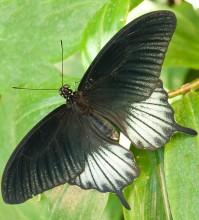 Пеперуди–юли